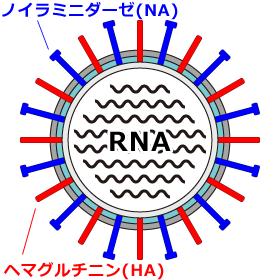 インフルエンザウイルスの内部構造